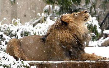 Lion-in-winter