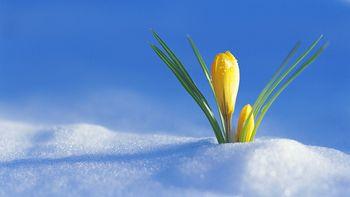 Crocus-flower