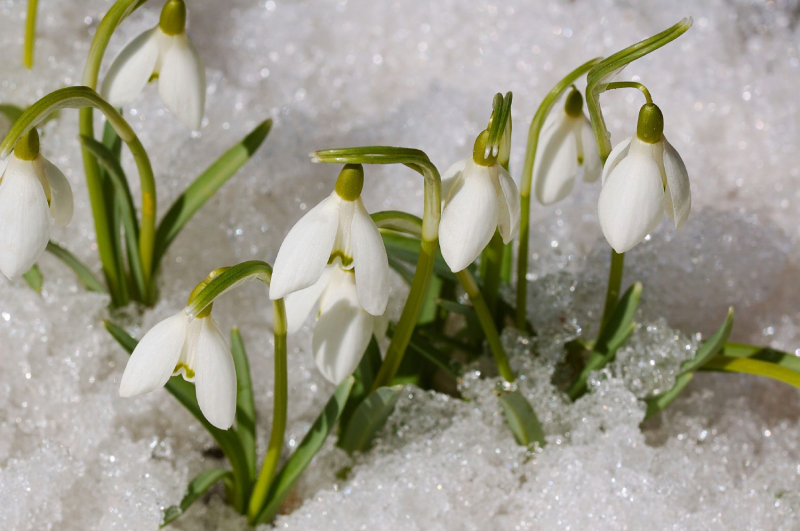 Snowdrops-snow