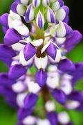 Flowerpurple_1